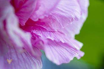 Màu hồng tuyệt đẹp của hoa phù dung về chiều