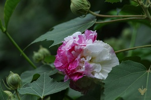 Nét đẹp của những bông hoa Phù Dung