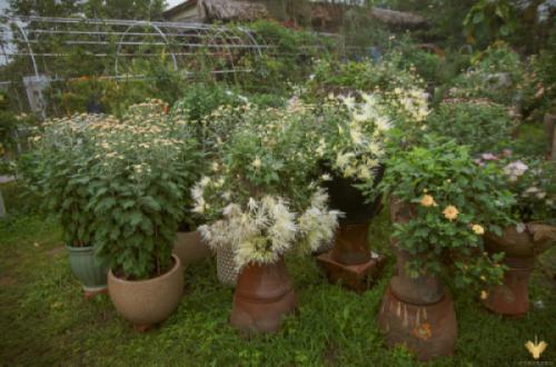Góc vườn với trên 40 giống Cúc độc đáo