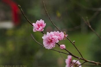 Thấy hoa Đào là đã thấy Xuân...