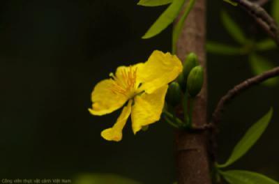 Mai vàng Yên Tử bắt đầu khoe sắc tại Park Eden