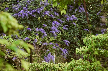 Giàn hoa mai xanh khoe sắc tím