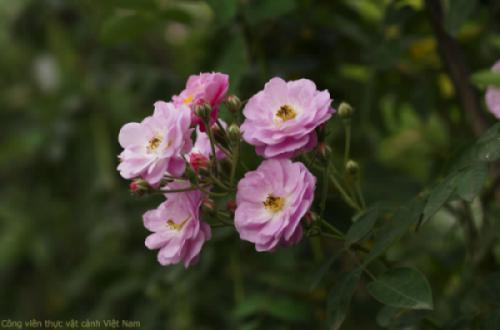 Vẻ đẹp những đóa hồng tầm xuân