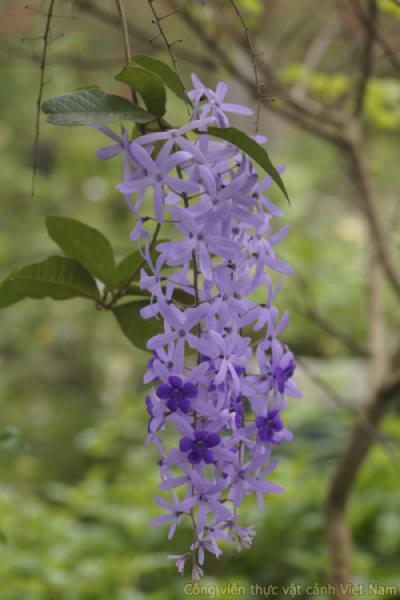 Vẻ đẹp những bông mai xanh Thái