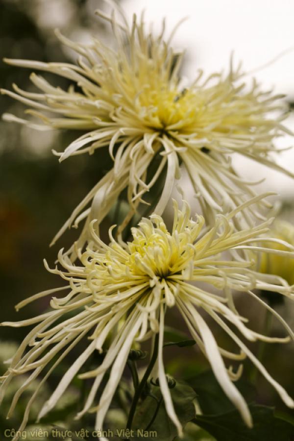 Bộ ảnh Các giống hoa Cúc độc đáo - NAG Đào Mạnh Hùng