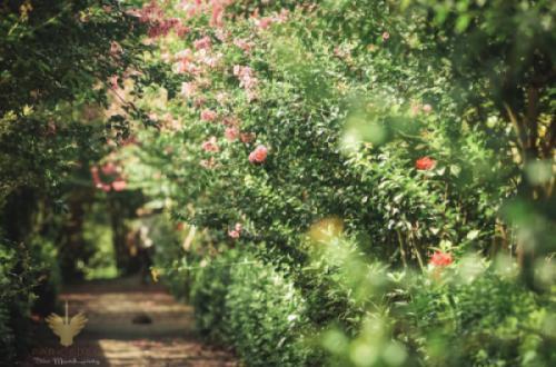 Bộ ảnh con đường Tường vi đầu mùa