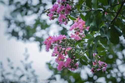 Những sắc màu Tường vi tại Park Eden