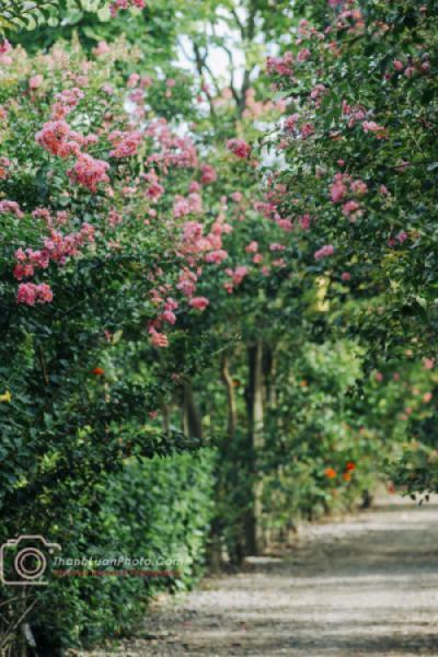 Con đường tường vi đầu mùa đẹp như mơ