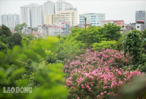Lạc lối giữa con đường hoa Tường Vi đẹp nhất Hà Thành