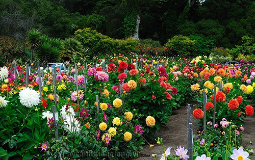 10 kỹ thuật trồng, chăm sóc hoa Thược dược truyền thống