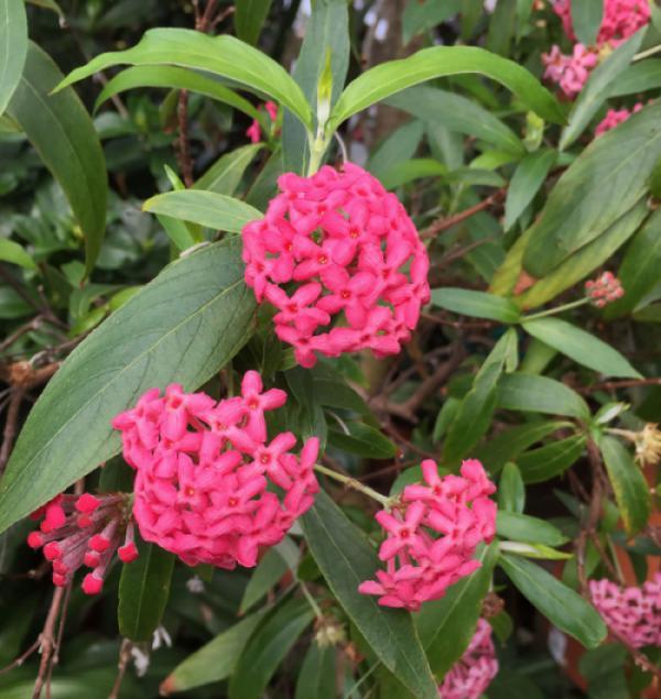 Cây liễu hồng