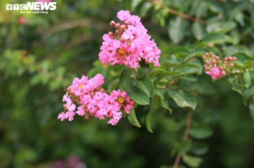 Con đường rực rỡ hoa tường vi như vườn cổ tích ở Hà Nội