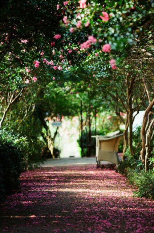 Ngắm con đường hoa tường vi đẹp mong manh trong những ngày rực rỡ
