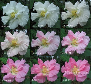 Hoa Phù dung - Bạn có biết chúng có thể đổi màu theo thời điểm trong ngày?