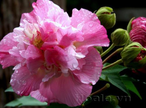 Truyền thuyết về hoa phù dung - Công viên thực vật cảnh Việt Nam