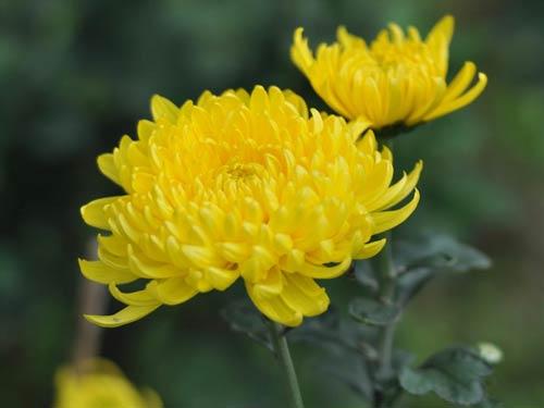 Ý nghĩa hoa cúc vàng trong đời sống và trong phong thủy