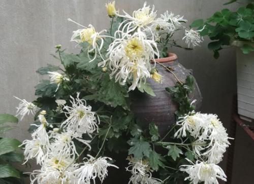 Hoa cúc bạch lệ mi - Loài hoa cúc cổ