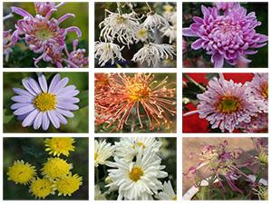 Bộ sưu tập trên 40 giống Hoa Cúc - Công viên thực vật cảnh Việt Nam