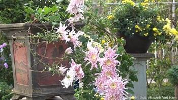 Một số giống hoa cúc đang được triển lãm tại Công viên thực vật cảnh Việt Nam (P1)