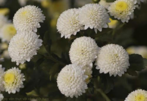 Hoa cúc cổ - Cúc chi trắng (Cúc rượu)