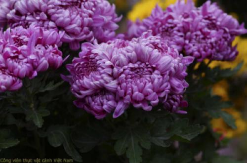 Hoa cúc cổ - Cúc đại đóa