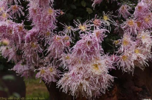 Hoa cúc cổ - Hồng Tú Kiều