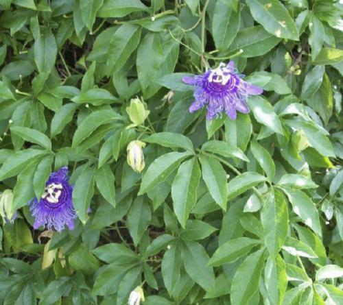 Cây chanh leo (Passiflora Incarnata)