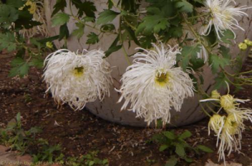 Hoa cúc cổ - Bạch Lệ Mi