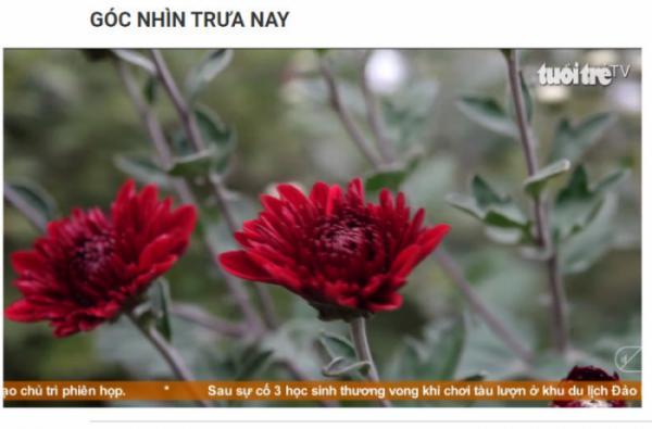 Báo Tuổi Trẻ - Mãn nhãn với vườn Cúc trên 40 giống Cúc cổ, Cúc quý tại Hà Nội