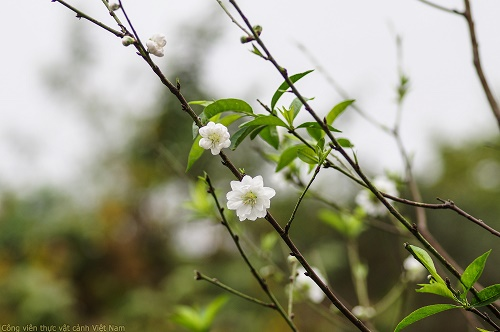 Cây Bạch đào - Hoa đào trắng (Flos salicina)