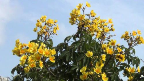 Cây mai hà lan - Mai hoa đăng (Cochlospermum religiosum)