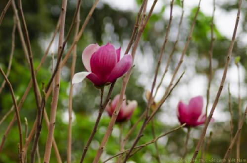 Cây hoa mộc lan (Magnolia soulangeana)