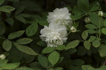 Cây hồng tầm xuân bắc (Rosa tunquinensis)