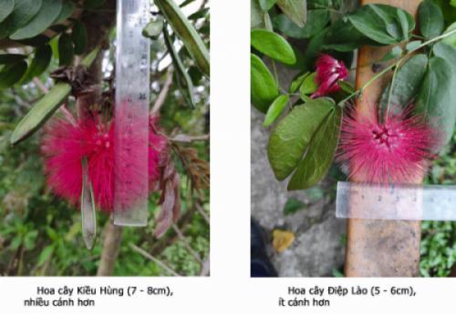 Cây Kiều Hùng và Cây Điệp Lào - Phân biệt sự khác nhau giữa hai loài cây này
