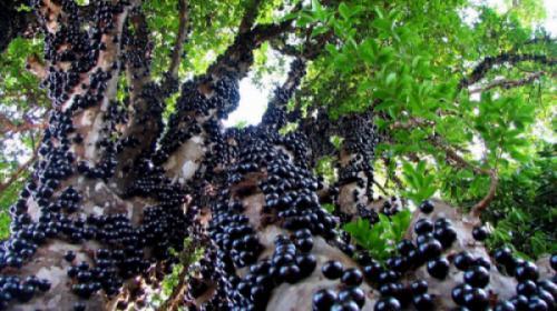 Cây nho thân gỗ (Plinia cauliflora)