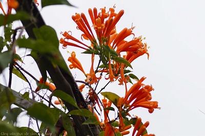 Cây hoa leo Chùm Ớt (Bignonia floribunda Hort)