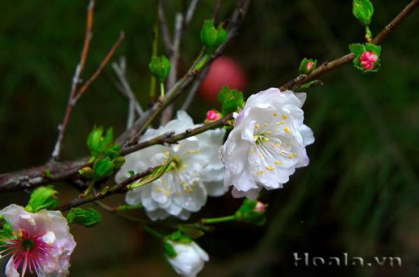Nhất Chi Mai - Loài hoa biểu tượng cho người quân tử