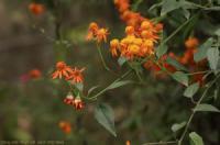 Hoa cúc leo (Pseudogynoxys chenopodioides)