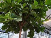 Cây sung phát tài (Ficus Lyata) – Loài cây trang trí cảnh quan giá trị