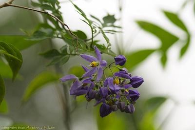 Cây tiêu nương – Solanum seaforthianum
