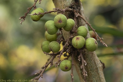Cây sung – quả sung (Ficus racemosa)