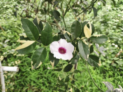 Cây nguyệt quế leo (pandorea jasminoides variegata)