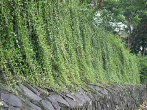 Cây cúc tần ấn độ (Vernonia Elliptica)