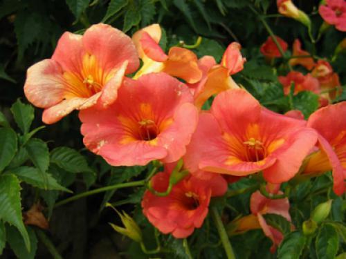 Cây đăng tiêu (Campsis grandiflora)