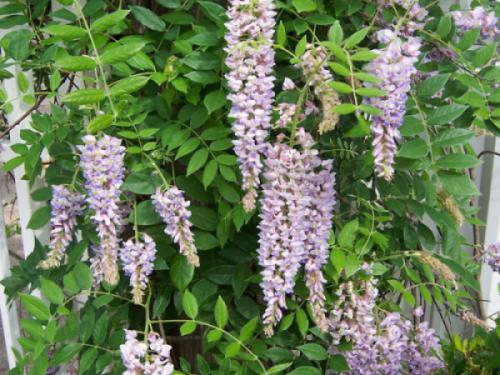 Cây hoa tử đằng (wisteria sinensis)