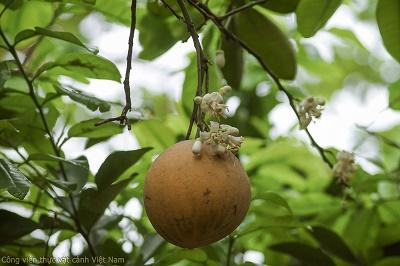 Cây bưởi (Citrus maxima)