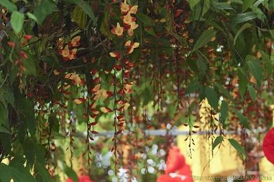 Cây hoa leo móng cọp vàng (Thunbergia mysorensis)