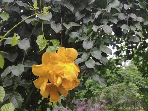 Cây leo hoàng ngân (cây vuốt mèo - Dolichandra unguis-cati)