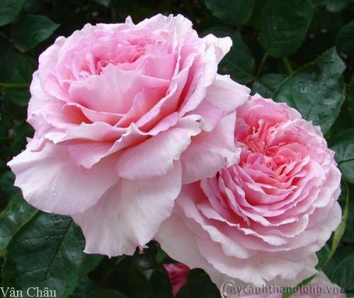 Hoa hồng Vân Châu (Jame Galway Rose)