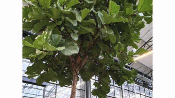 7 điểm độc đáo và tính ứng dụng đặc trưng của cây sung phát tài (Ficus Lyata)